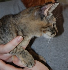 """Rescued kitten we are now calling """"Muffin"""". She needs a good home. Any volunteers?"""